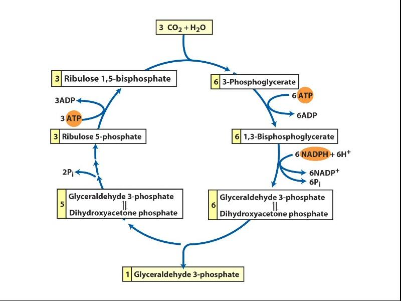 Atp Cycle Diagram Blank Diy Enthusiasts Wiring Diagrams